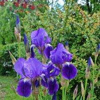 Ирисы — изысканно- волшебные цветы... :: Galina Dzubina