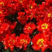 « …Цветки их так ярки, Как пламя, горят,…» :: Андрей Нибылица