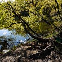 Буйство изумрудной майской зелени над зеркалом пруда... :: Ольга Русанова (olg-rusanowa2010)