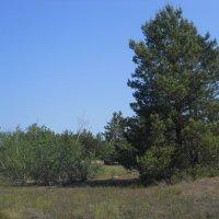 Берёзовые колки в сосновом лесу :: Галина