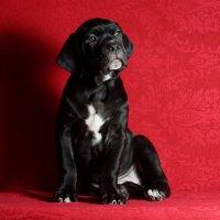 Двухмесячный щенок Кане Корсо :: Константин Косов