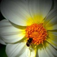 Пчелка :: Петр