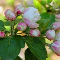 цветы яблони :: Горкун Ольга Николаевна