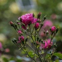 Roses :: Dmitry Ozersky