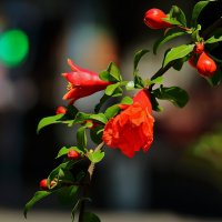 Гранат цветет :: Светлана