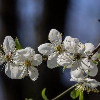 Весна... :: Николай Саржанов
