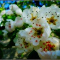 Цвет груши :: Виктория Власова