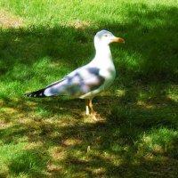 Чайка на лужайке :: татьяна