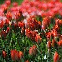 Море тюльпанов :: lady-viola2014 -