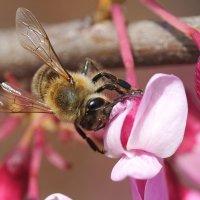 Пчёлка :: Swetlana V