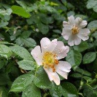Капли дождя на цветах и листьях. :: Anna Gornostayeva