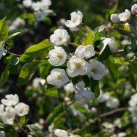 Яблони в цвету :: Алиса *****