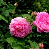 Первые чайные розы :: Нина Бутко