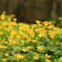 Цветет чистяк весенний :: Татьяна Ломтева