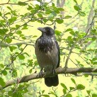 Ворона на ветке :: Маргарита Батырева