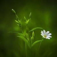 Цветок :: Алексей Строганов