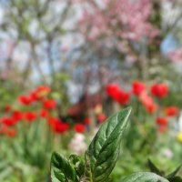 Цветущая весна) :: Дина Дробина