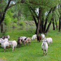 Пастух и козы . :: Валентина ツ ღ✿ღ