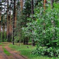 Отцветающей черёмухой весна... :: Лесо-Вед (Баранов)