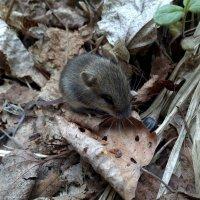 Мышь :: Елена Иванкина