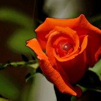 Со всемирным днем роз! :: Светлана