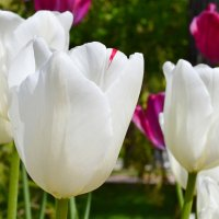 Тюльпаны :: Виктор Шандыбин