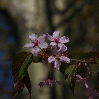Цветение сакуры :: Андрей Тихомиров