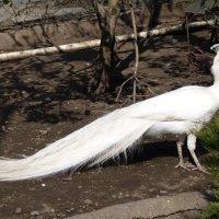 Белый  павлин :: Galina Leskova