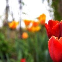Тюльпаны... :: Дмитрий Петренко