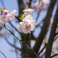 Розовый цветок Сакуры :: Gennadiy Karasev