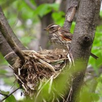 Гнездо белобрового дрозда :: Ната Волга
