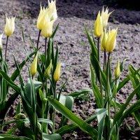Тюльпан White Triumphator :: Елена Павлова (Смолова)
