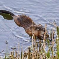Подскажите, что это за зверь? :: Сергей Рычков