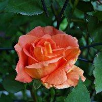 роза Луи де Фюнес (Louis de Funes). :: Александр Корчемный