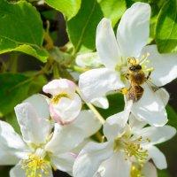 В яблоневом цвету :: Дмитрий Брошко