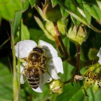 Пчёлка Майя. :: Владимир M