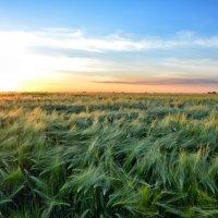 Пшеница :: Александр Довгий