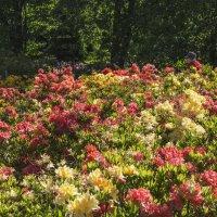 Цветение рододендронов. :: Svetlana