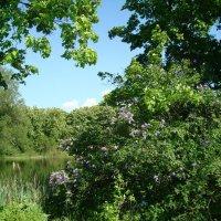 Сирень у озера :: марина ковшова
