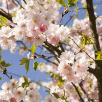 Цветки махровой сакуры :: Gennadiy Karasev