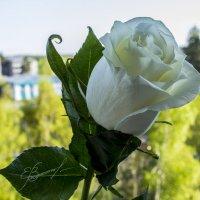 Роза :: Евгений Князев