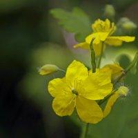 радость цветения :: оксана