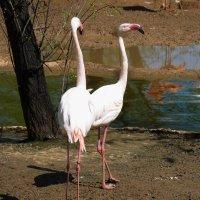 розовый  фламинго :: Galina Leskova