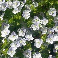 Белые цветочки на газоне. :: Наталья Владимировна