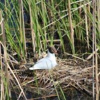 Озёрная чайка на гнезде :: Анна Владимировна Ёлкина