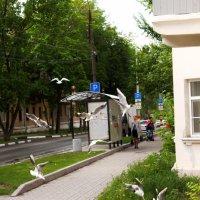 Чайки в городе! :: Алексей Медведев
