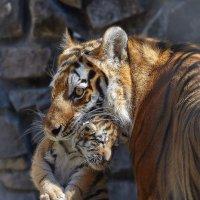 Амурские тигры. :: Виктор Шпаков