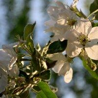 Яблони в цвету. :: Михаил Столяров