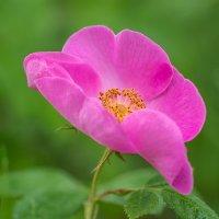 Дикий шиповник краше садовых роз  ... :: Александр Земляной