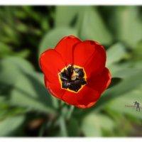 Цветочек аленький. :: Anatol Livtsov